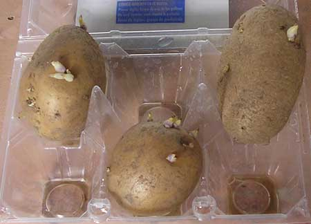 Preparando patatas para sembrar en macetas todo huertos for Como sembrar semillas en macetas